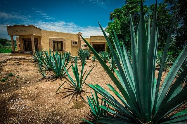 Biljke agave u meksiku