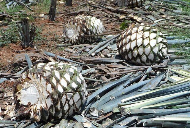 Branje agave za tequilu
